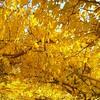 βλΕπω + αγαπώ... (sifis) Tags: color yellow leaves nature forest greece sakalak
