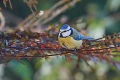 blue tit (☾allisto) Tags: autumn fall bird songbird bluetit blaumeise animal