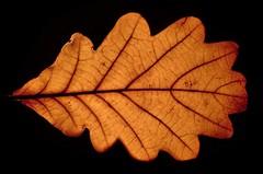 Light Oak. (Les Fisher) Tags: smileonsaturday onesingleleaf backlit blackbackground onblack oakleaf tuesdaystextures