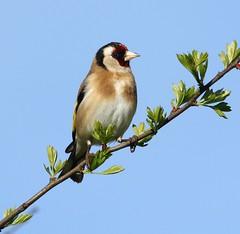 Goldfinch - Enjoying the spring sunshine (glostopcat) Tags: goldfinch finch bird songbird glos spring