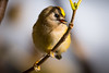 Goldcrest (Rob Blight) Tags: goldcrest bird wild wildlife nature outdoors branch eating snacking nomming aphid aphids nikond850 d850 200500 200500mm