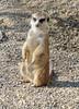 Meerkat (sharon'soutlook) Tags: meerkat animal cincinnatizoo 2017