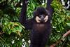 southern white-cheeked gibbon (arcibald) Tags: southernwhitecheekedgibbon whitecheekedgibbon gibbon taoy salavan saravan laos laopdr