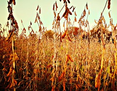 field of soybeans   October 2017 (delmarvausa) Tags: fall autumn fallcolors autumncolors delmarva delmarvapeninsula october sussexcountydelaware selbyvillede southerndelaware delaware sussexde soybeanfield soybeans crops farming rural countryside scenic scenery ruraldelmarva sussexcounty sussexcountyde firststate farm farmlife delmarvafarms farmsofdelmarva country lifeondelmarva delmarvausa orange tree treeart trees nature