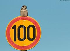 Onnea satavuotiaalle Suomelle! Congratulations Finland! [Explored] (uusija) Tags: suomi100 surniaulula bird hawkowl hiiripöllö linnut luonto nature northernhawkowl petolintu