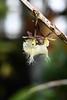 Epidendrum ilense (mellting) Tags: andrastäder gbgbotaniska göteborg nikond500 platser bloggad flickr göteborgsbotaniskaträdgård instagram matsellting mellting nikkor5018 nikon sverige sweden epidendrumilense epidendrum orchid flower plant gothenburgbotanicalgarden
