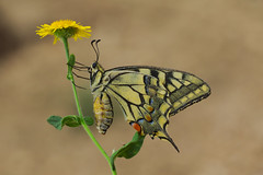 Papilio machaon (8) (JoseDelgar) Tags: insecto mariposa papiliomachaon 425861118734849 josedelgar naturethroughthelens alittlebeauty thegalaxy coth coth5 fantasticnature