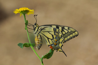 Papilio machaon (8)