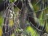 Dewy garden cobweb (Steven K. Hearn) Tags: spiders arachnids webs cobwebs dew leaves essex england
