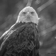 """#1 Rule: Always have your camera…Eagle from my """"car blind"""" (flintframer) Tags: american bald eagle raptors birds wildlife nature harrison county indiana backroads black white bw monochrome dattilo wow canon eos 7d markii ef100400mm 14x"""