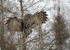 IMG_8362nx (4President) Tags: great gray owl saxzim bog minnesota