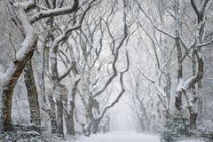 """Winter is coming"" .... (dejongbram) Tags: trees winter season forest snow landscape nikon d500 outside glk snowstorm blizard weather nederland gelderland tripadvisor tree aurora ngc pscc"