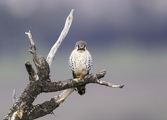 American Kestrel (Explored 12-12-17) (Tomingramphotography.com) Tags: kestrel americankestrel falcon coyotehills california nikon birdofprey