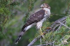 Coopers Hawk (PamsWildImages) Tags: coopershawk bird nature britishcolumbia bc naturephotographer wildlife wildlifephotographer raptor pamswildimages princerupert vancouverisland
