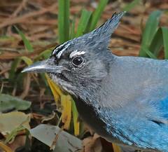 CAE007436a (jerryoldenettel) Tags: 171103 2017 corvidae cyanocitta cyanocittastelleri jay luislopez nm passeriformes socorroco stellersjay bird corvid passerine