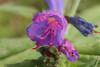 Echium vulgare subsp. vulgare (Afonso F. Gomes) Tags: echium vulgare echiumvulgare jardimbotânicoutad jardim jardinagem flor flora flower flores botanic botanica