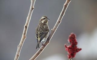 Purple Finch female  / Roselin pourpré femelle