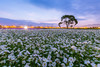 花海日出 (Cheng Yang, Chen) Tags: 新社 新社花海 日出 波斯菊 cosmosbipinnatus cosmos dawn taiwan landscape taichung 台中
