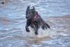 Back from the drink (alundisleyimages@gmail.com) Tags: dogs pets animals play water rivermersey newbrighton merseyside splash fetch retreive