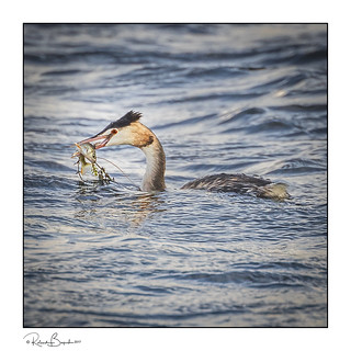 Fish and two veg - Grebe with catch