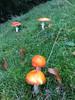 Fliegenpilze (ceciledemaron) Tags: fliegenpilz pilz mushroom