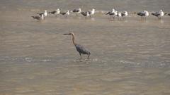 DSC04908 (Matthew283) Tags: bolvar wildlife 11182017 reddish egret