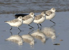 Sanderlings on parade (Jaedde & Sis) Tags: sandløber calidrisalba sanderling four reflection repetition beach shore challengefactorywinner thechallengefactory challengegamewinner 15challengeswinner perpetualwinner pregamewinner flickrchallengewinner flickrchallengegroup storybookwinner friendlychallenges sweep gamewinner bbq