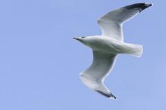 Goéland_A656778_DxO (jackez2010) Tags: ilce6500 fe100400mmf4556gmoss bif birdinflight goéland