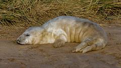 2017-11-13 Donna Nook-4008.jpg (Elf Call) Tags: 120300 beach nikon sigma baby lincolnshire pup d7200 donnanook seal