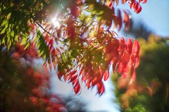 Symphony of autumn colors (PeterThoeny) Tags: cupertino sanjose california siliconvalley sanfranciscobay sanfranciscobayarea tree leave fall autumn autumncolor color red sky blur depthoffield shallowdepthoffield dof bokeh sony sonya7 a7 a7ii a7mii alpha7mii ilce7m2 fullframe vintagelens dreamlens canon50mmf095 f095 canon 1xp raw photomatix hdr qualityhdr qualityhdrphotography fav200