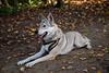Vločenka - Resting (Crones) Tags: canon 6d canoneos6d canonef24105mmf4lisusm 24105mmf4lisusm 24105mm vločka csv čsv československývlčák canislupusfamiliaris vlčák vlcak dog wolfdog