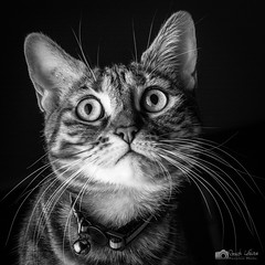 Octobox (xpressx) Tags: 50mm nikon blanc pets passionphotonikon bw noir cats animal 18 wb noiretblanc d7100 nikonadicted exposure xpressx photographe bn nikkor nikond7100 lightroom white chat