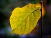 Herbstblatt (uhu's pics) Tags: onesingleleaf smileonsaturday outdoor nature natur vert green grün jaune yellow gelb herbstfarben coloré colourful farbig feuille leaf blatt automne autumn herbst 90mm xpro2 xpro fujinon fuji fujifilm smile