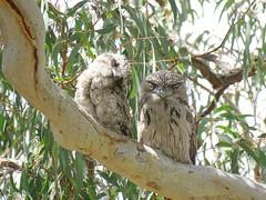 Podargus strigoides 13 (barryaceae) Tags: australian national botanic gardens canberra bird birds aves australianbirds ausbirds ausbird tawny frogmouth podargus strigoides