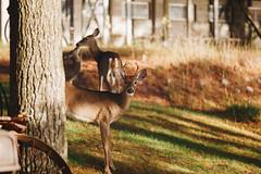 Edit -1-10 (Dane Van) Tags: canadacreekranch atlantamichigan deer family canon 5d 135mm