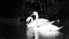 Black & White Swans (ea.leclercq) Tags: swan cygne black white noir blanc bird oiseau wildlife sauvage nord france sailly lys