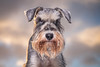 Grumpy!! (donnyhughes) Tags: schnauzer mini miniature dog snow grumpy eyes scotland dogs pup