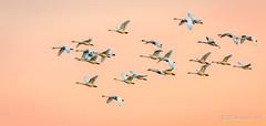 Tundra Swans (Bob Gunderson) Tags: birds california centralvalley cygnuscolumbianus northerncalifornia sanjoaquincounty swans tundraswan woodbridgeroad coth coth5