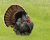 Happy Turkey Day... (ragtops2000) Tags: turkey tom male colorful thanksgiving bird outstanding large big holiday