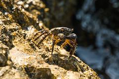 Crabs (foto.brauneder) Tags: crab crabs marineanimals seedwellers marinelife seacreature seafood sunbathe bathinthesun nature naturelovers adria adriaticsea ocean eveningsun tamton1530 tamron tier meeresbewohner zelenalaguna poreć nikon niko5300 nikonphotography natur hrvatska croatia