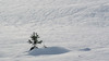 Snow baby (prajpix) Tags: snow tree pine scots weather winter nature cold young highlands scotland regeneration