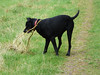 It's my stick (Lexie's Mum) Tags: continuing30dayswild walking walks walkingthedog nature wildlife scenery floraandfauna dog lester stick