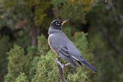 American Robin (Alan Gutsell) Tags: bird birding wildlife nature photo new newmexico american robin americanrobin santafe