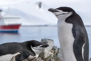 chinstrap penguins und MSEXPEDITION