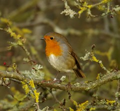 ROBIN IN BUSH AUTUMN (1) (Simon Dell Photography) Tags: robin red breast christmas berrys sheffield simon dell photography nature wildlife bird wild garden pond animal photo autumn winter leafs reflection 2017 nov hackenthorpe s12