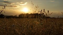 Sunset & grain (pszcz9) Tags: przyroda nature natura zbliżenie closeup zachódsłońca sunset pole field zboże grain beautifulearth sony a77 pejzaż landscape samyang