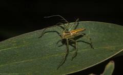 Oxyopes (dustaway) Tags: clagiraba coomeravalley sequeensland queensland australia arthropoda arachnida araneae araneomorphae oxyopidae oxyopes lynxspider australianspiders