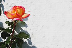 Roseira com flor | Rose bush with flower (António José Rocha) Tags: portugal roseira rosa flor flora beleza planta cores natureza