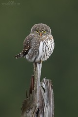 Northern Pygmy-Owl (www.jessfindlay.com) Tags: northernpygmyowl glaucidiumgnoma glaucidium owl raptor birdofprey winterbirdsofvancouver britishcolumbia wwwjessfindlaycom jessfindlay jessfindlayphotography jessfindlaycom workshop birdphotography ins