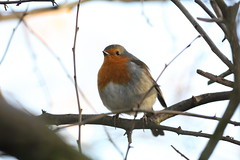 Keith the Robin (Barry Miller _ Bazz) Tags: nature widnes victoriapark 5dsr canon outdoor wildlifephotography robin bird